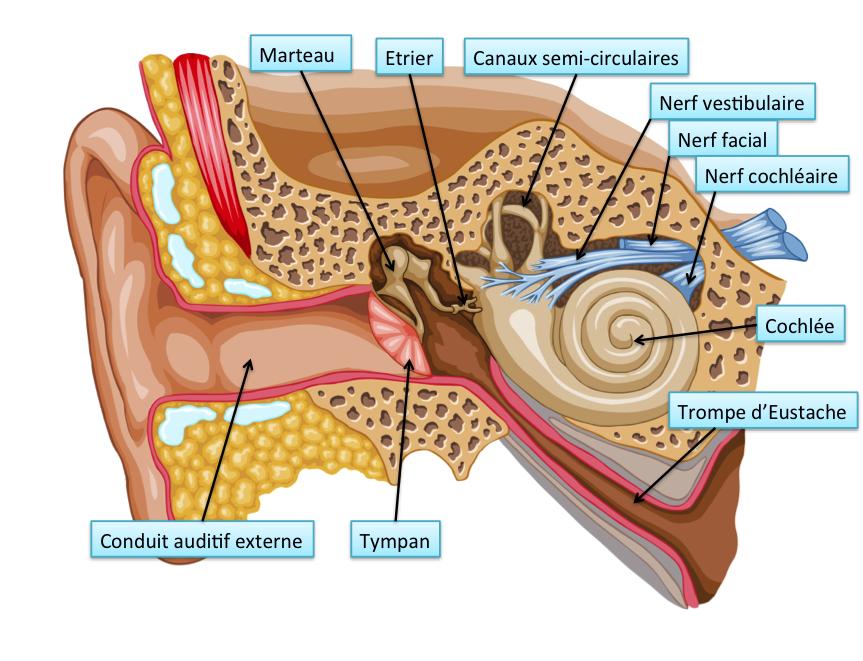 Image gallery l 39 oreille for A l interieur de l oreille